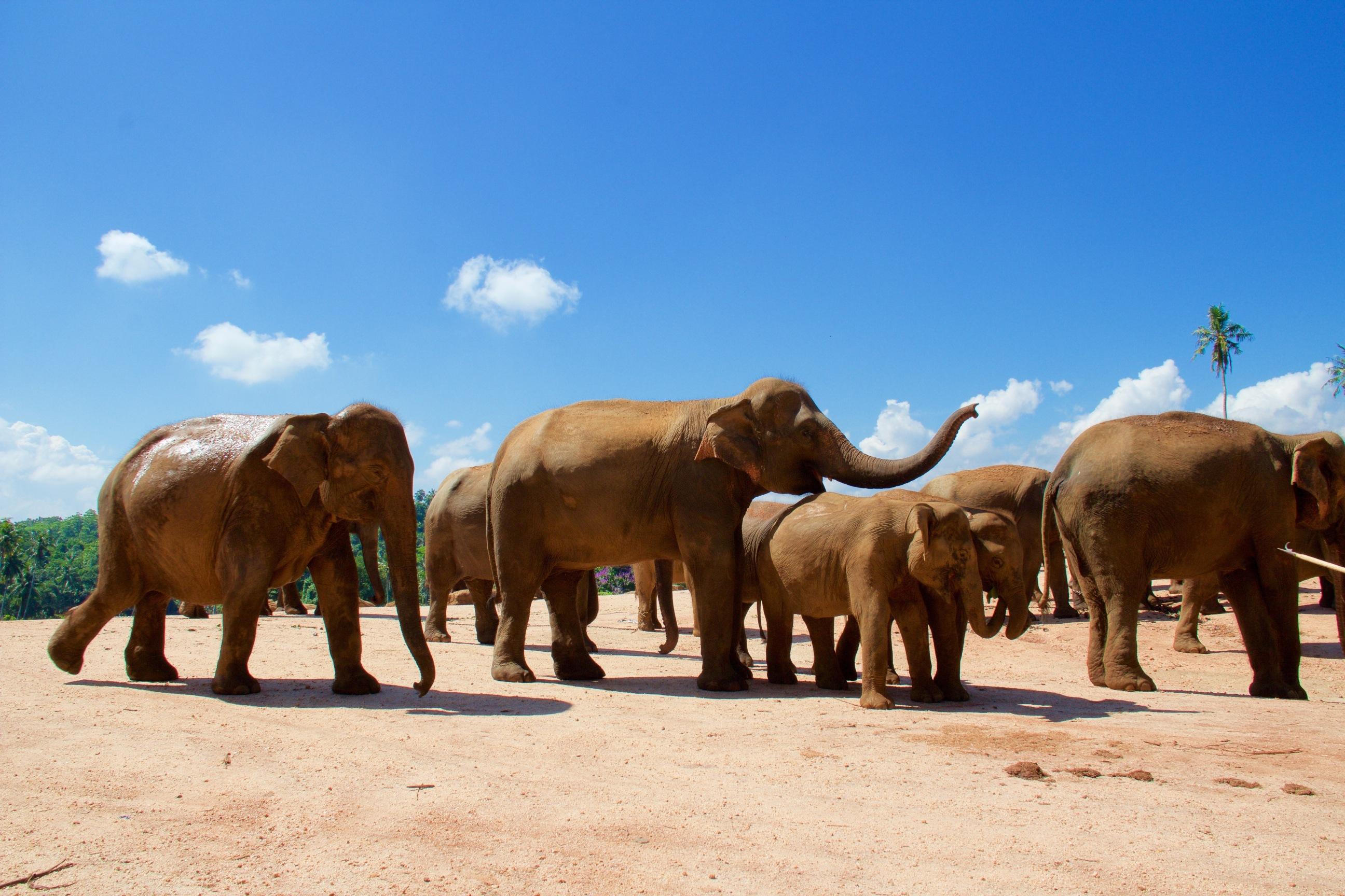 Elephant@SriLanka-2014-05-02