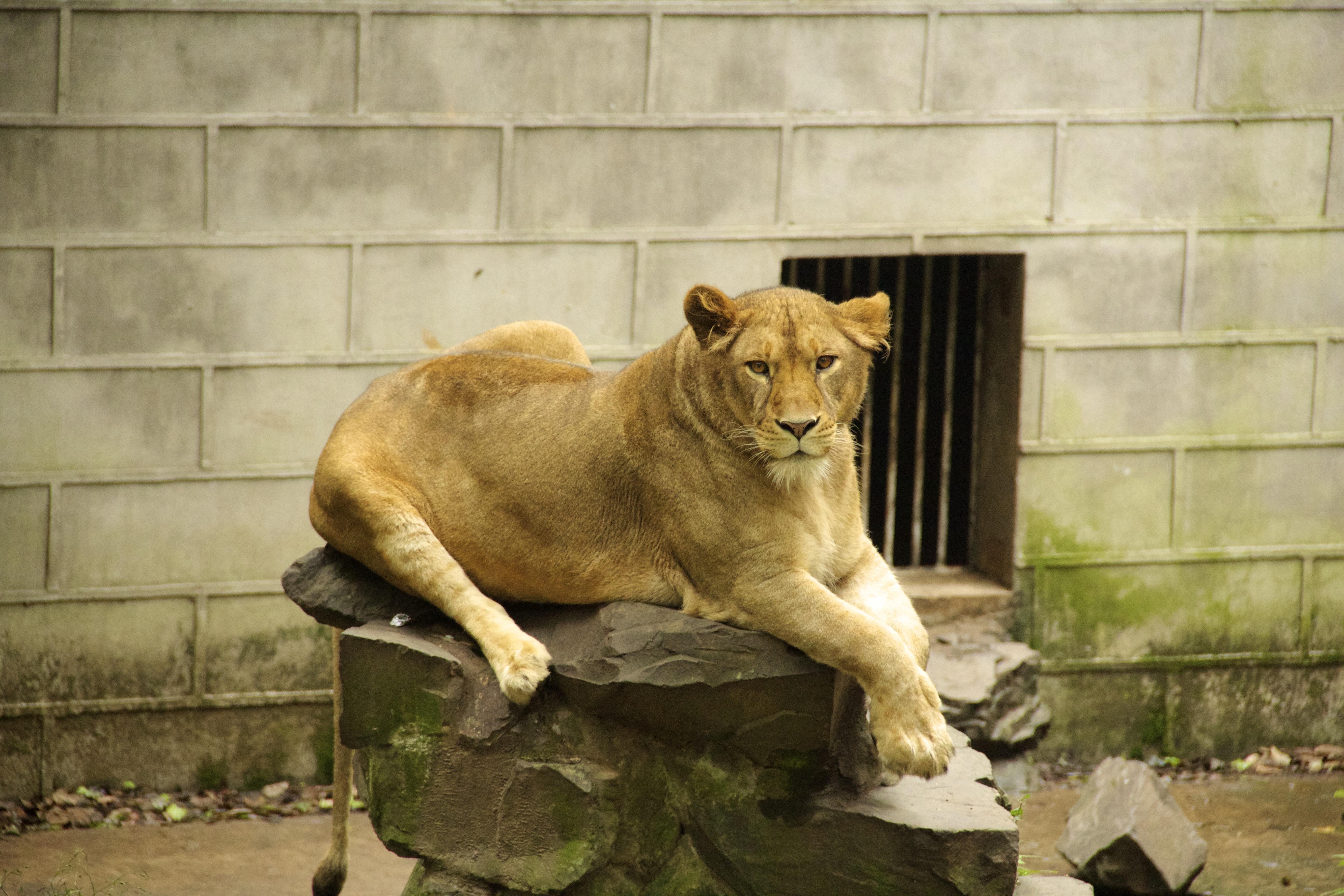 Lion@Zoo-2013-06-12